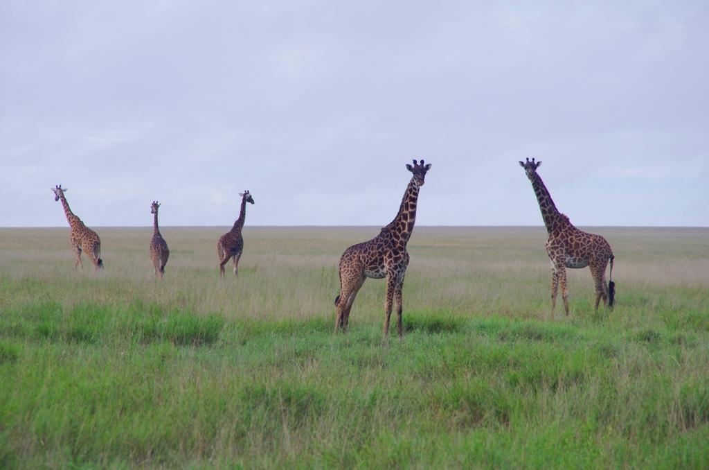 Chorégraphie - Serengeti