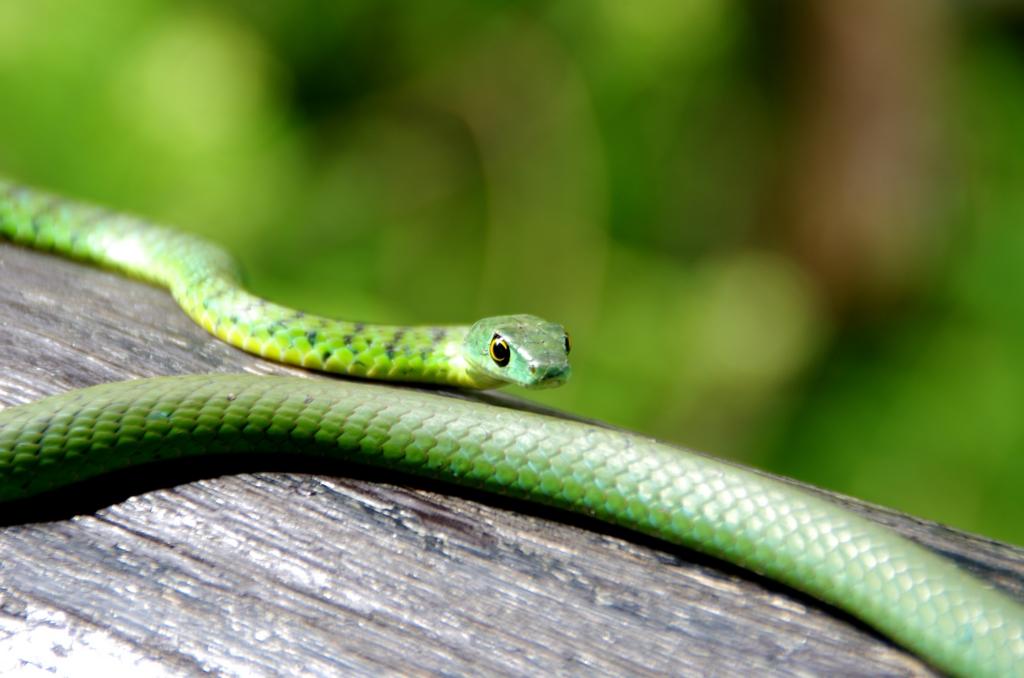 Un serpent tranquille - Serengeti