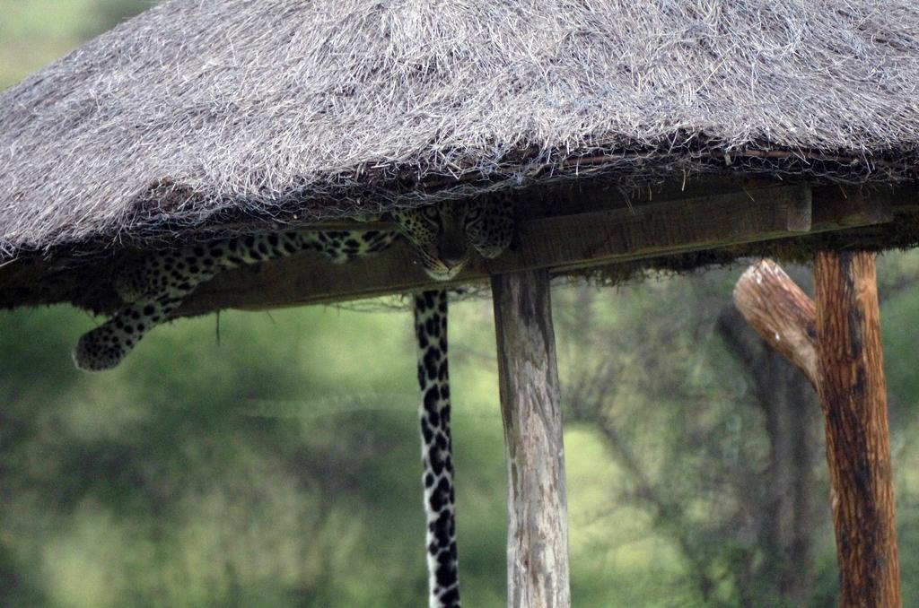 Un léopard bien caché