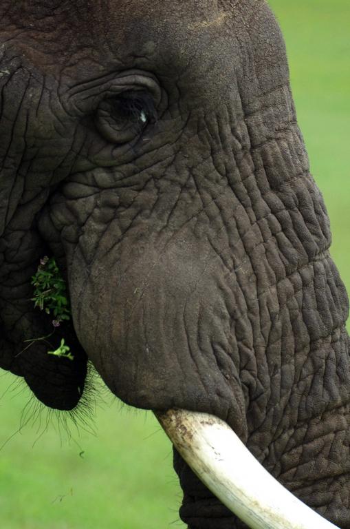 Portrait d'éléphant - Tarangire