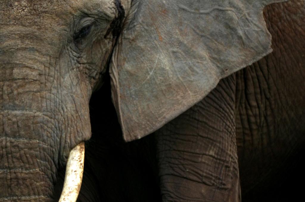 Portrait d'éléphant d'Afrique