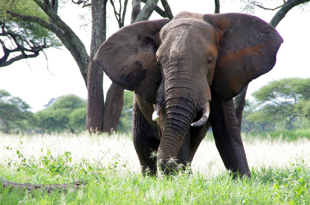 Eléphant - Tarangire
