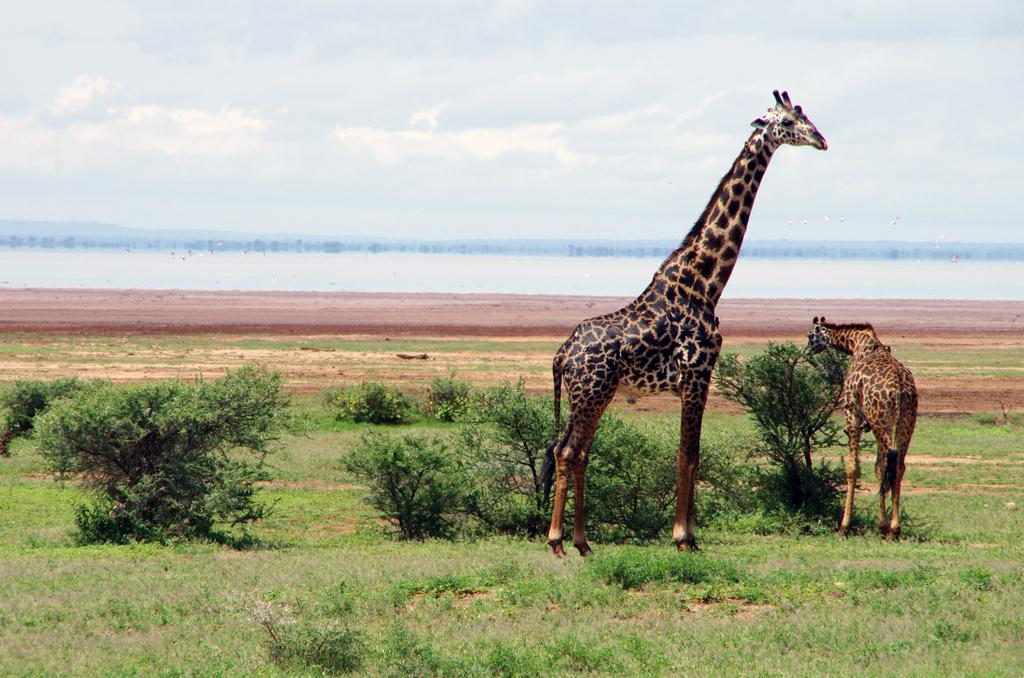 Girafe et son girafon - Lac Manyara