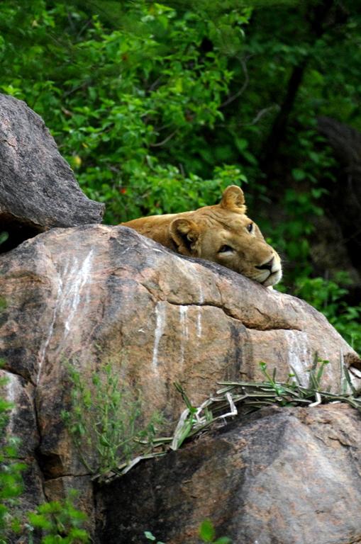 Nous n'aurons pas la chance de voir de lion dans les arbres, mais bon même sur un rocher cela reste magistral - Lac Manyara