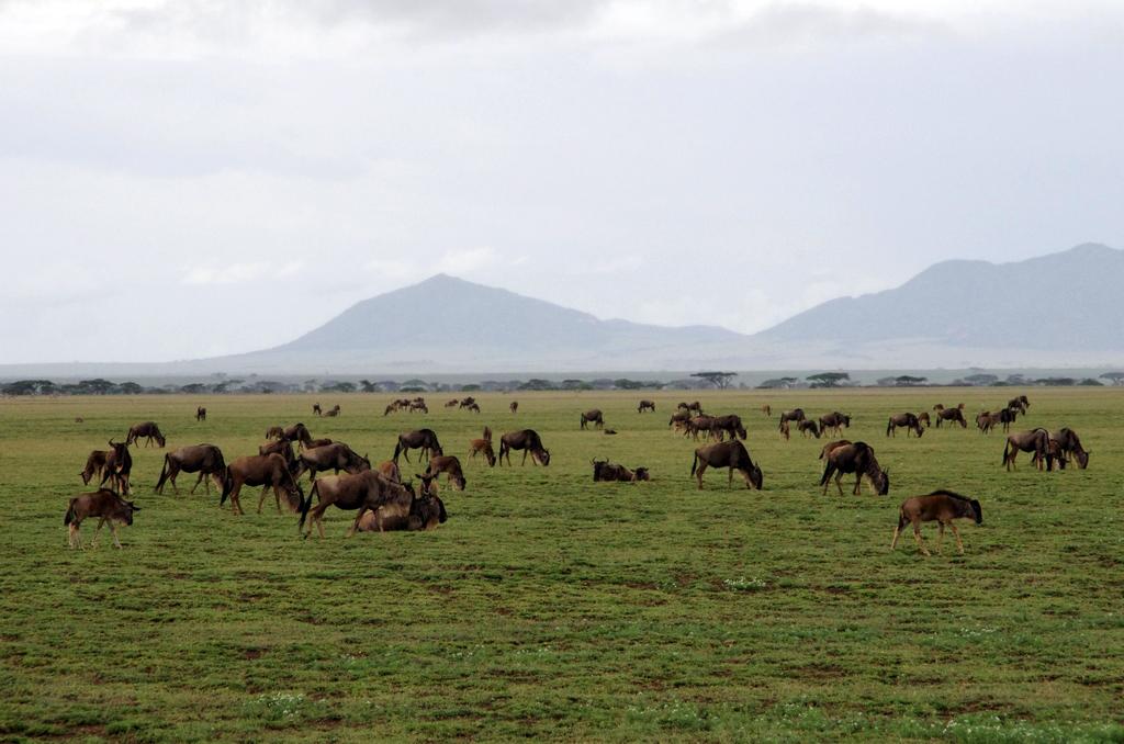 Migration des gnous - Serengeti