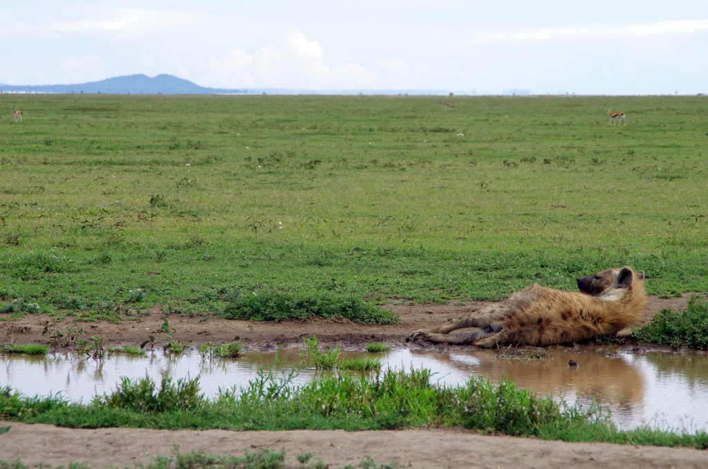 Le repos d'une hyène - Serengeti
