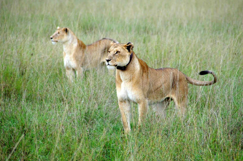 Certains groupes de lions sont suivis - Serengeti