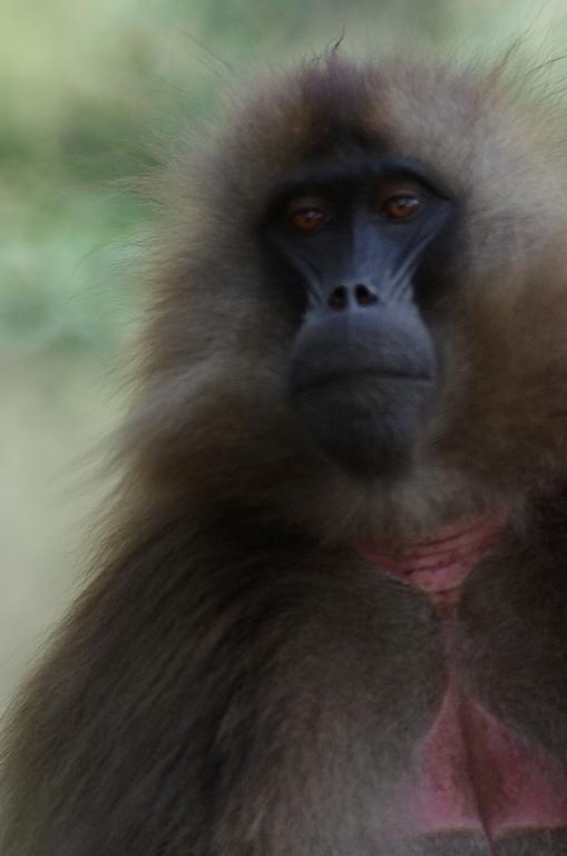 Simien, signifie singe. Ils sont en effet nombreux dans le parc. Ici, un singe Gelada