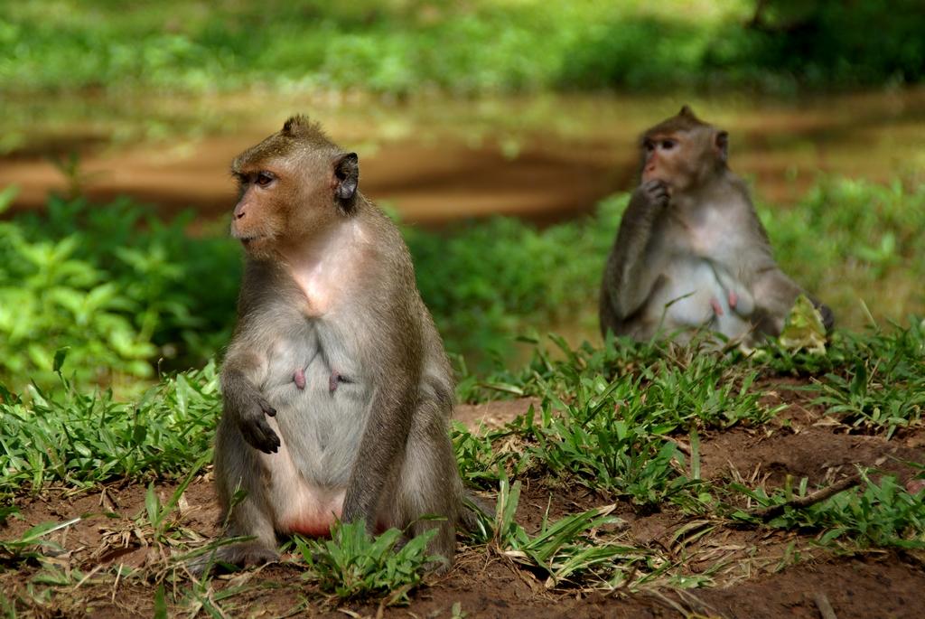 Nombreux sont les singes à Angkor, Cambodge