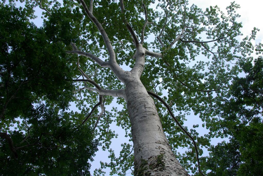 Les arbres de Ta Phrom sont majestueux, Cambodge