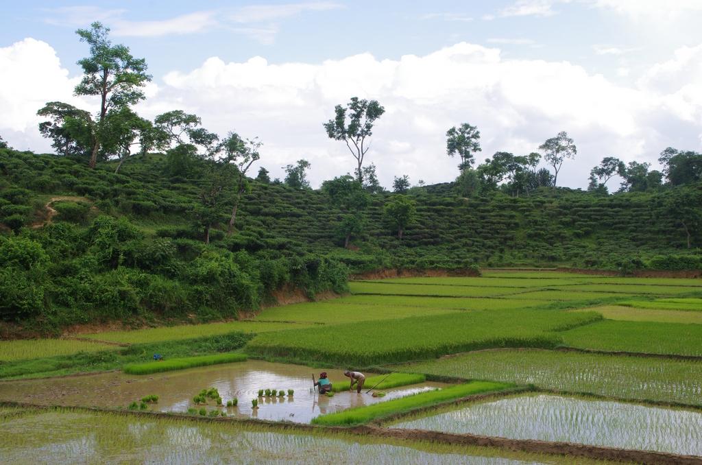Rizières -  Srimangal