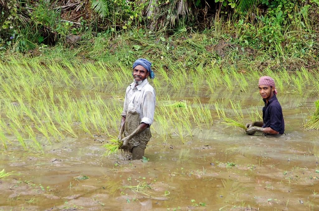Riziculteurs - Srimangal