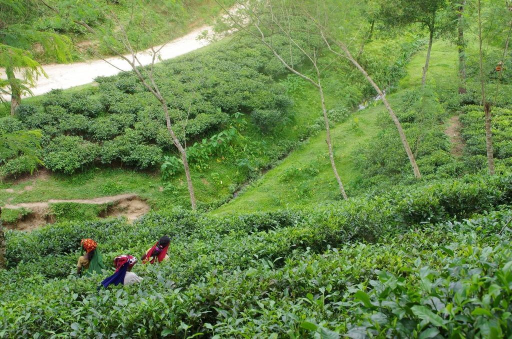 Plantations de thé - Srimangal