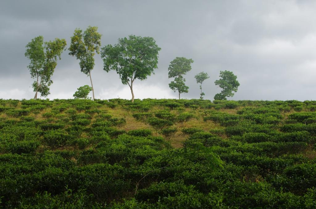 Plantation de thé - Bangladesh