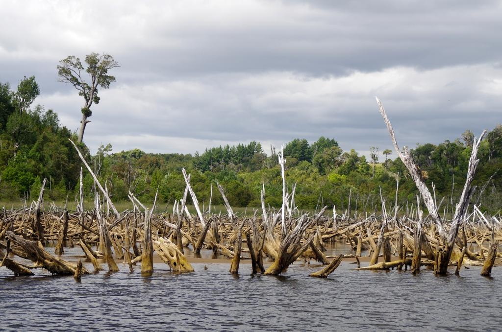 Forêt noyée - Chiloé, Chili