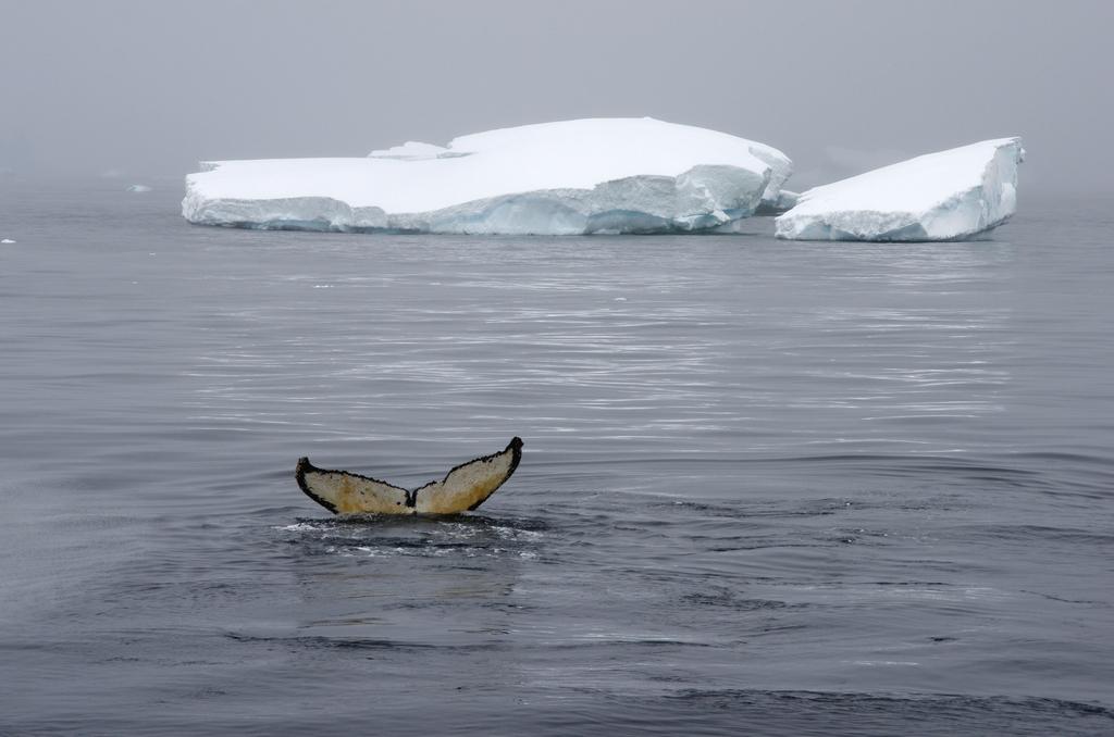 Baleine, Antarctique