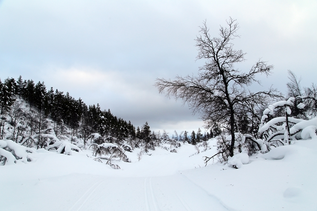Sous la neige, les arbres - Laponie finlandaise