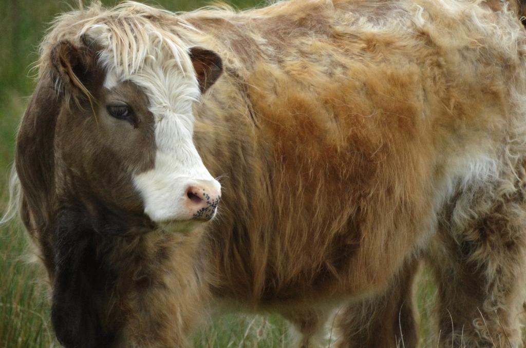 Croisement entre une vache laitière et une vache Highlands - Ecosse