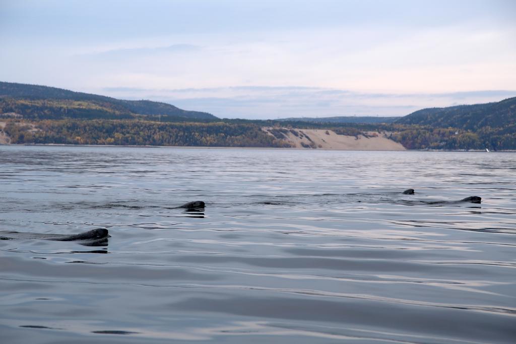 A la recherche de baleines sur le St Laurent. C'est aussi l'occasion de voir nombre de phoques, marsouins... et des baleines ! Québec