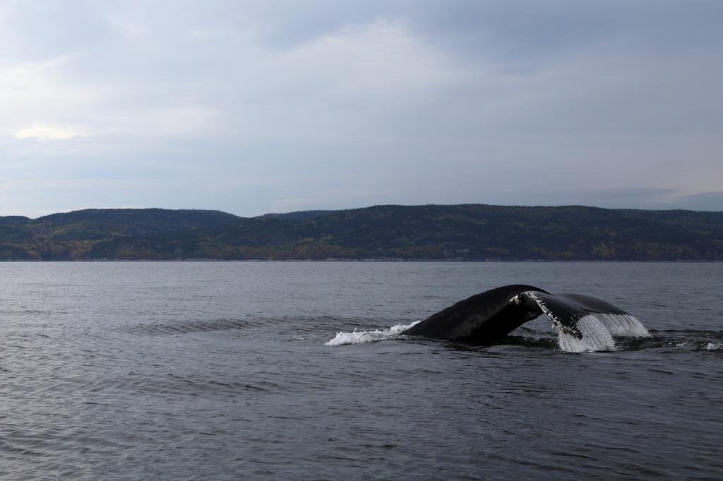 Baleine sur le St Laurent - Québec