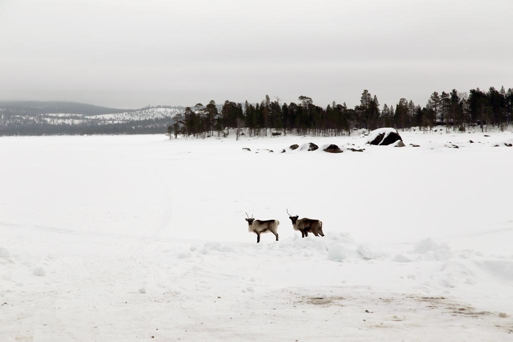 Les rennes sont nombreux en Laponie