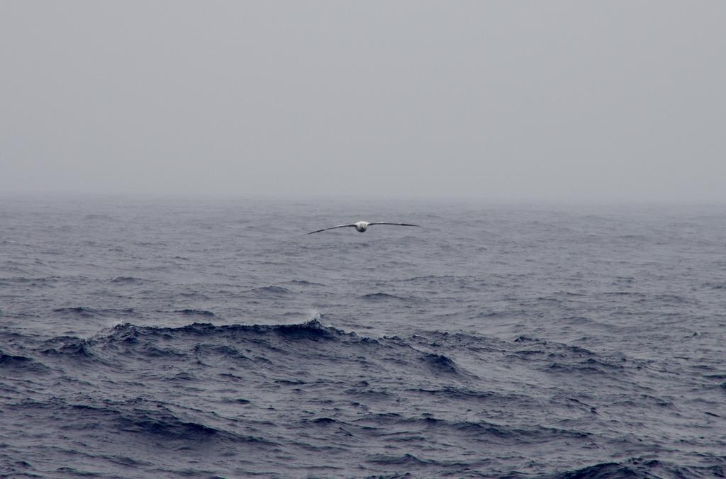 L'albatros, le géant des mers