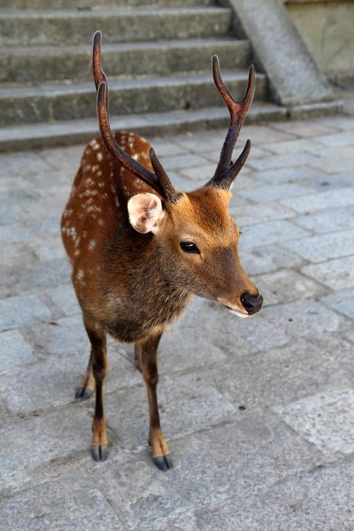 Daim - Nara