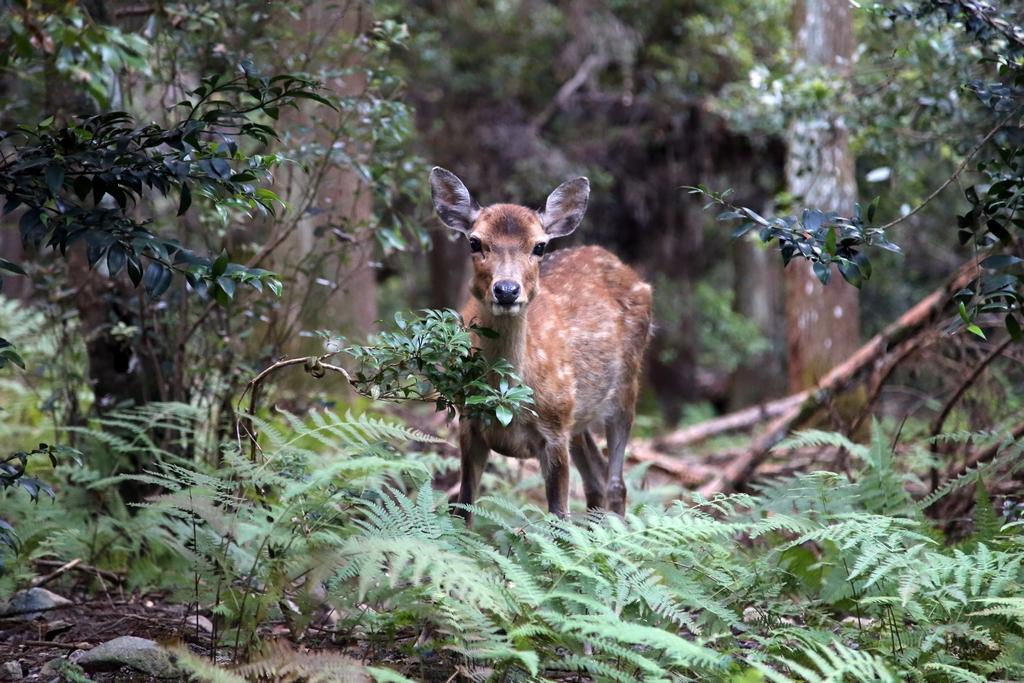 Croisé au petit matin, au coeur de la forêt - environs de Nara