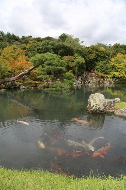 Les parcs japonais regorgent de carpes gigantesques