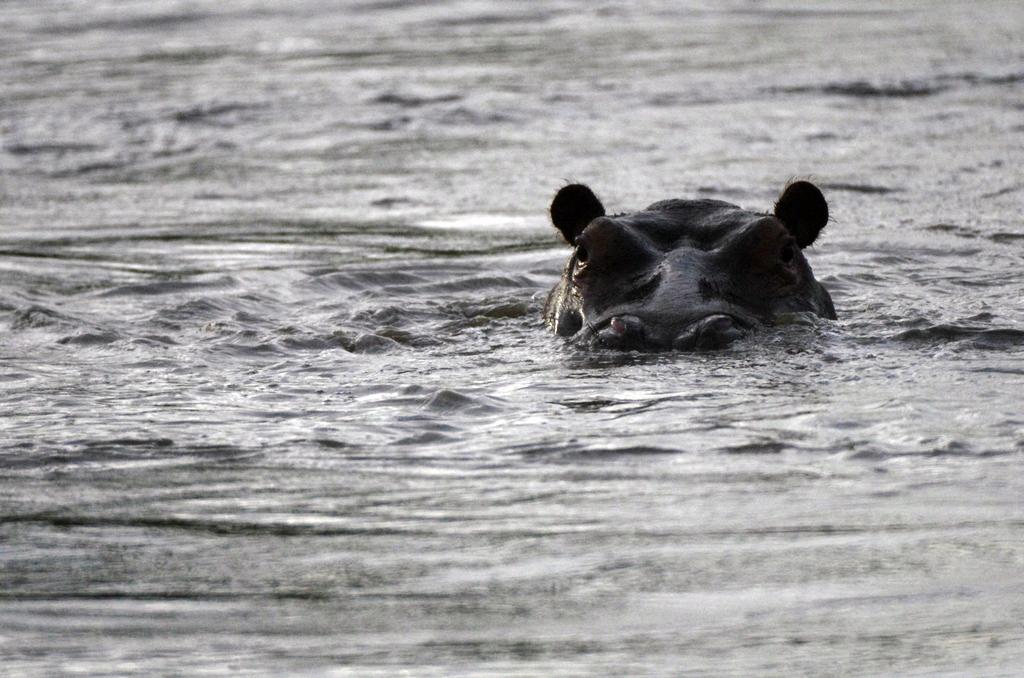 Hippopotame - Serengeti