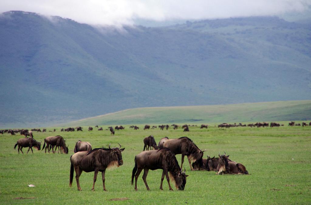 Gnous - Ngorongo