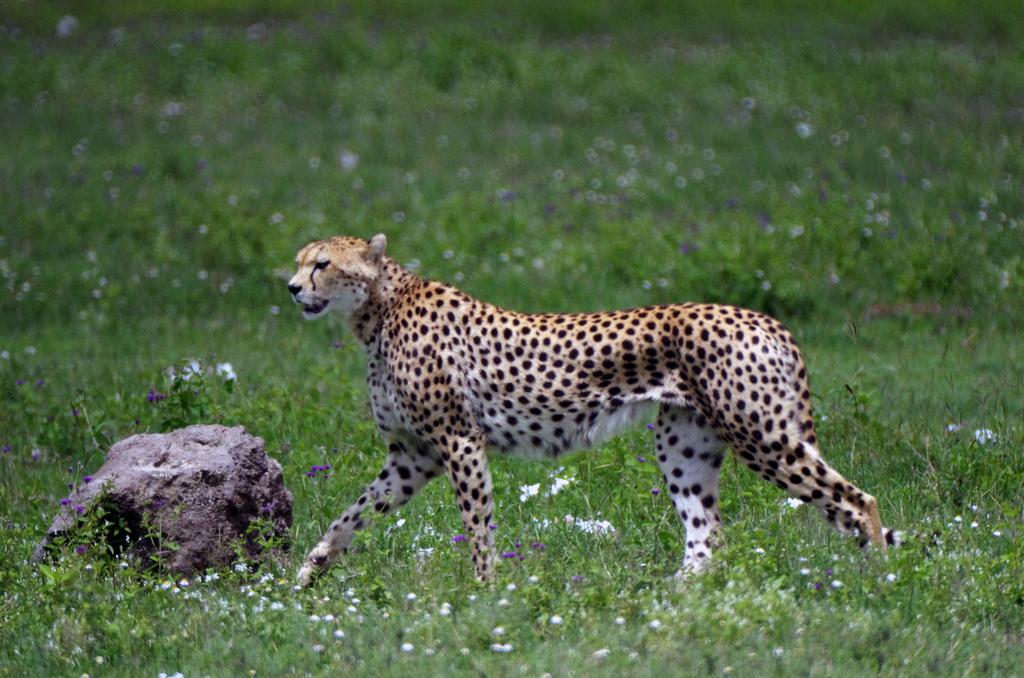 Guépard - Ngorongo