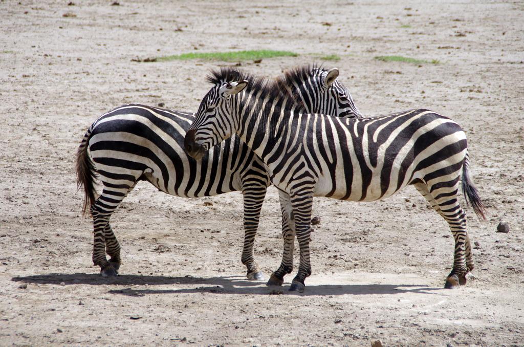 Zèbres au repos - Ngorongo
