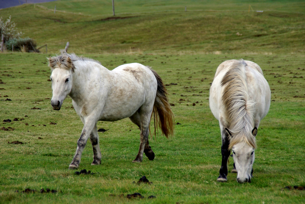 Les chevaux islandais ont la particularité d'avoir deux allures supplémentaires, l'amble et le tölt
