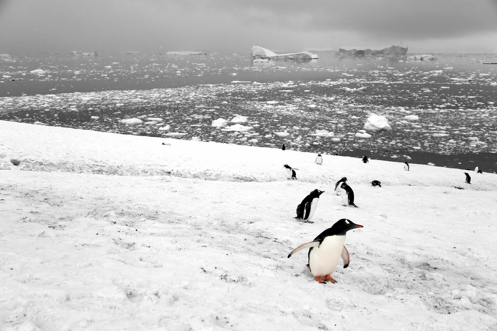 Manchots - Antarctique
