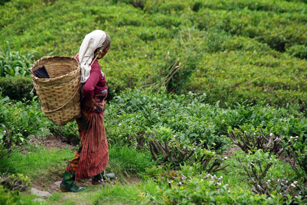 Ceuilleuse de thé - Darjeeling
