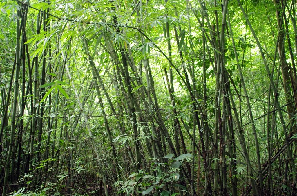 Forêt de bambou - Srimangal