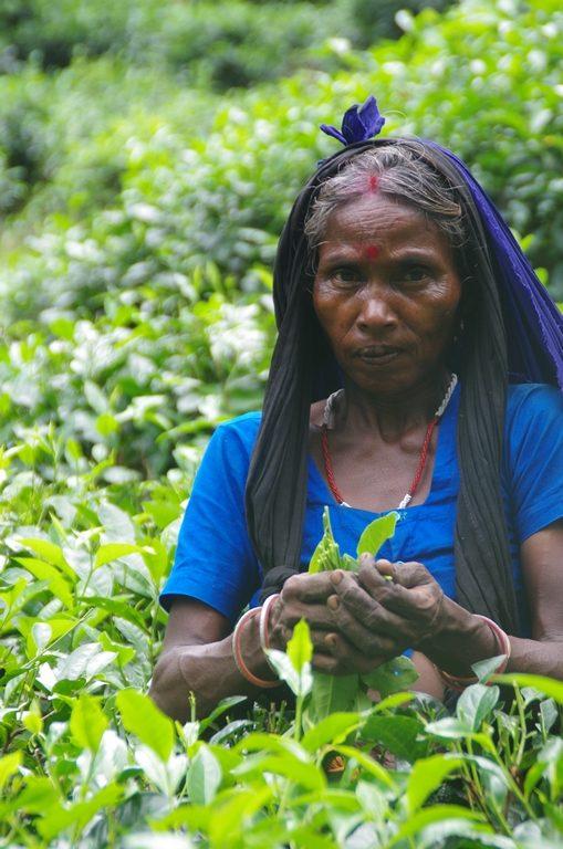 Cueilleuse dans les plantations de thé - Srimangal
