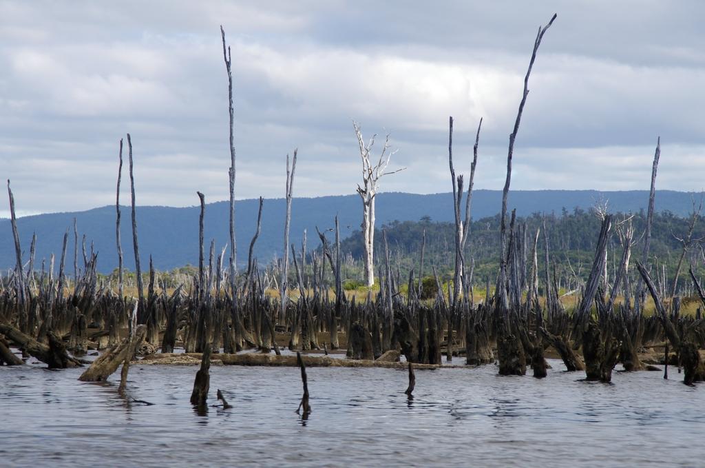 Suite à un tremblement de terre, la forêt s'est retrouvée les pieds dans l'eau de mer, entrainant la mort de tous les arbres - Chiloé, Chili