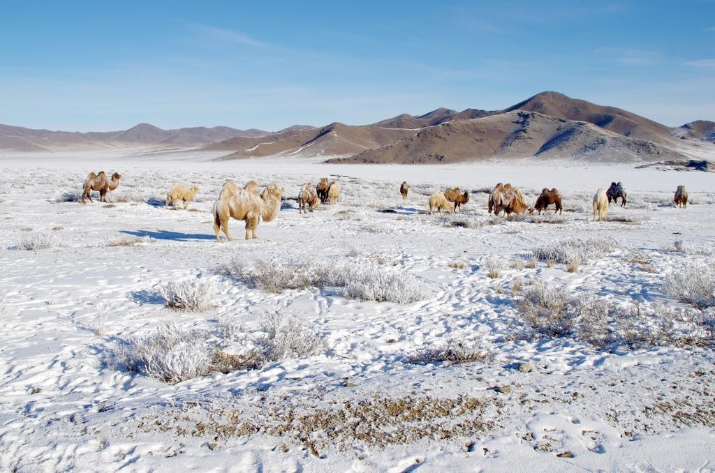 Chameaux dans la neige - Mongolie