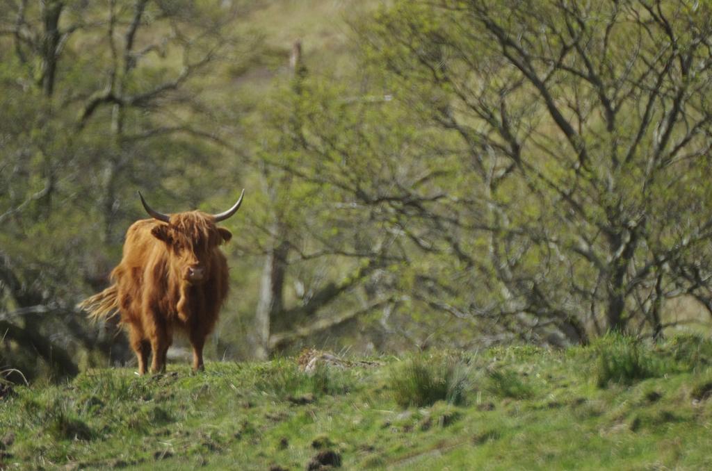 Il est relativement rare de voir des Highlands, les races plus productives les ayant remplacées - Ecosse