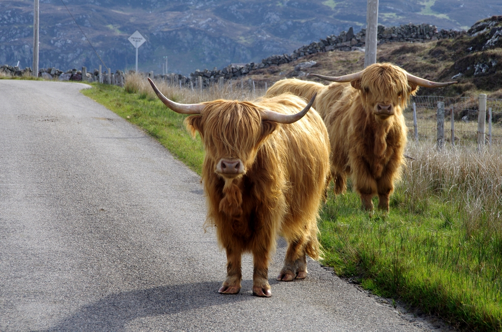 Vache Highlands - Ecosse
