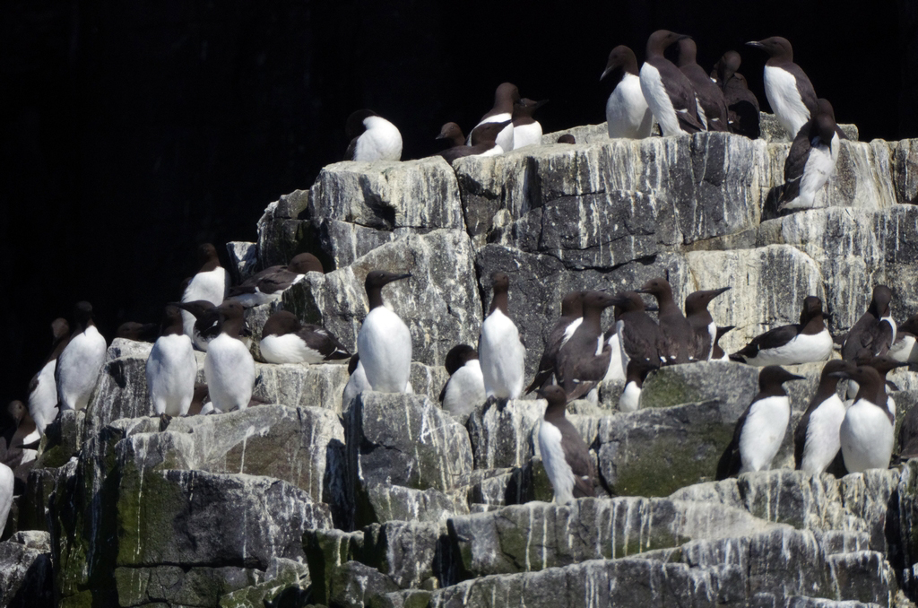 Guillemots, île de May - Ecosse