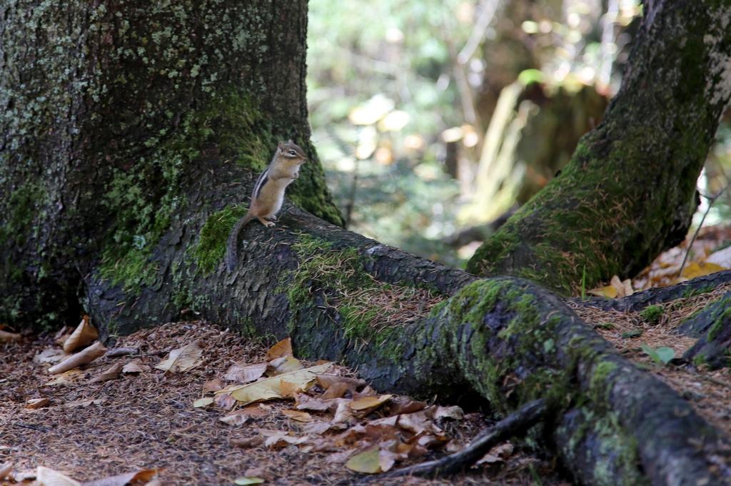 Les écureuils sont légions au Québec