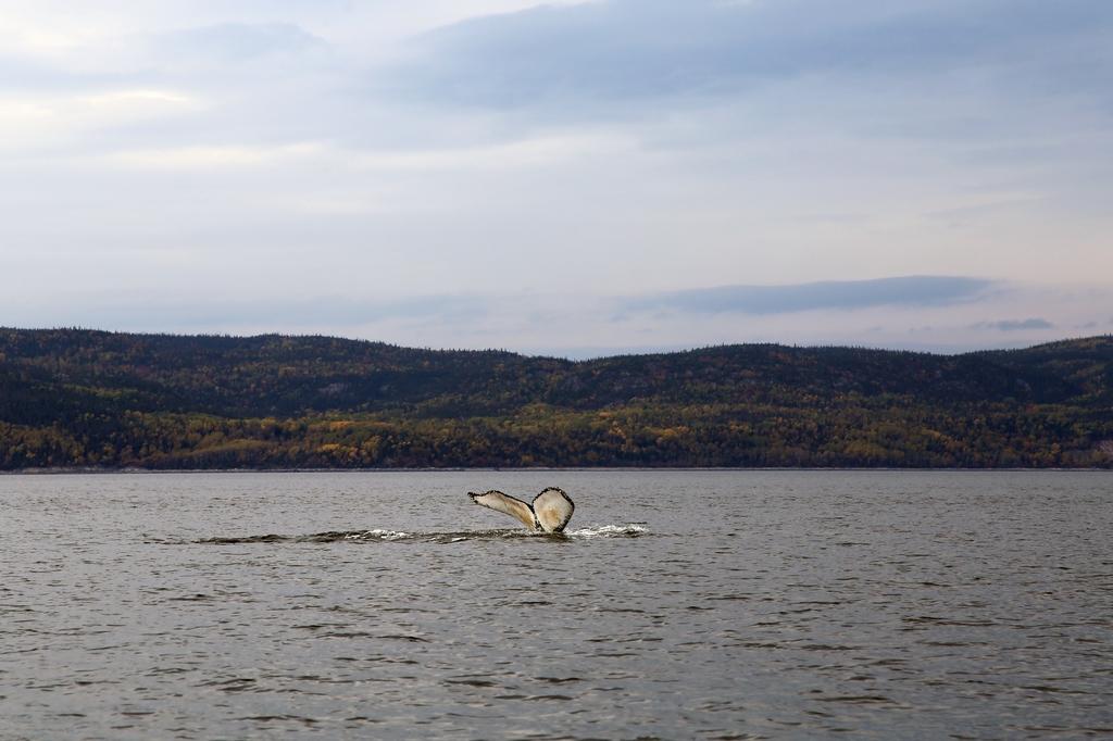 Généralement, ce que l'on voit est un bout de baleine au loin. Cela ne manque pas de charme pour autant - Québec
