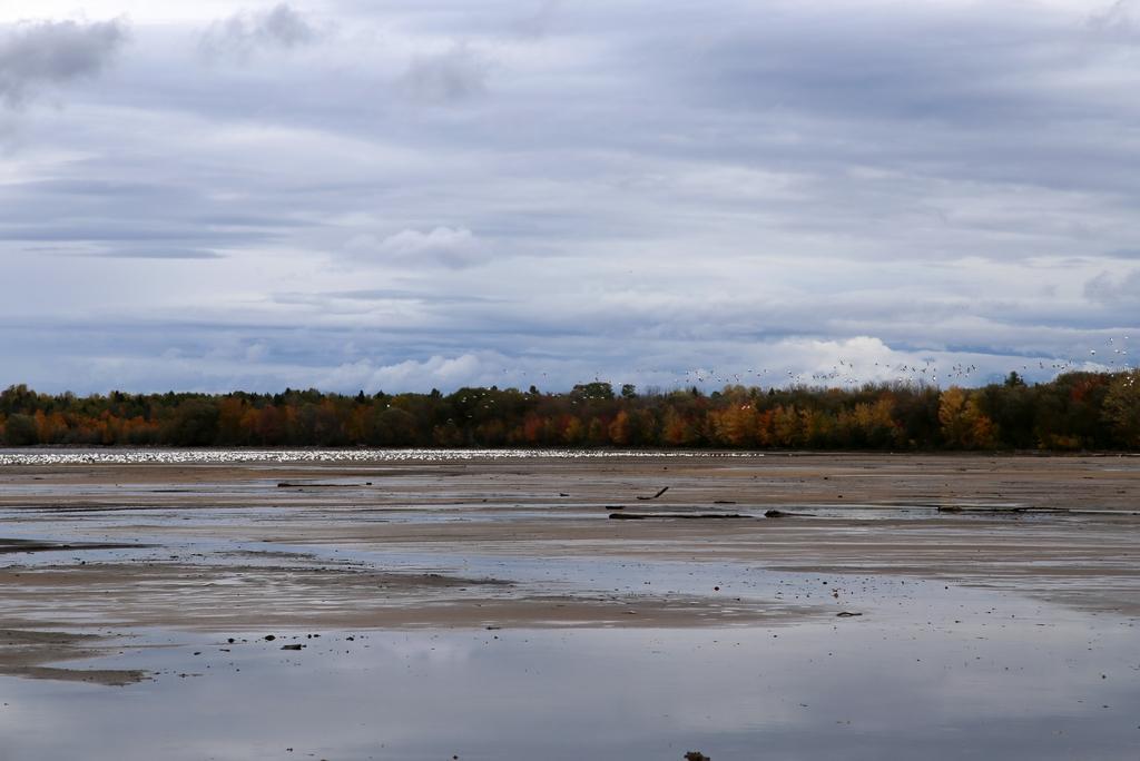 Oies du Nord, lac St Jean - Québec