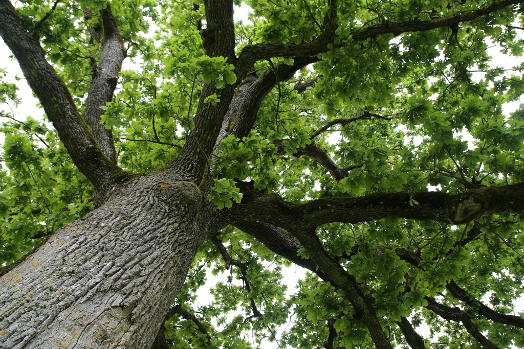 Un arbre bicentenaire - Estonie